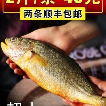 宁德大黄鱼,黄瓜鱼,一条两斤,足斤足两,两条顺丰包邮到家