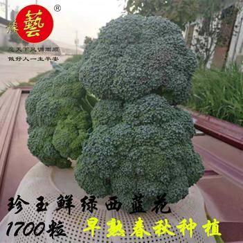 青花菜种子 豫艺珍玉鲜绿 早熟 球色鲜绿 花蕾细密  球型整齐度高