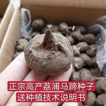马蹄  荸荠种子优质高产60斤起批 免费提供种植资料