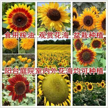 向日葵种子多头多花玩具向日葵各种包邮
