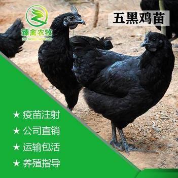 五黑鸡苗批发 绿壳蛋鸡苗批发 运输包货包打疫苗