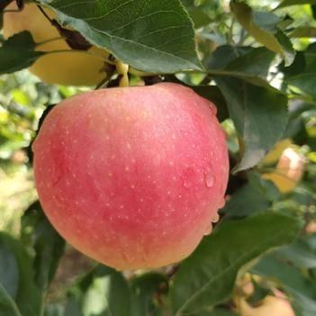 山西精品纸加膜美八嘎啦苹果品质保证产地直发欢迎采购