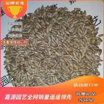 冬牧草种子耐寒高产鲜草王新种子包邮