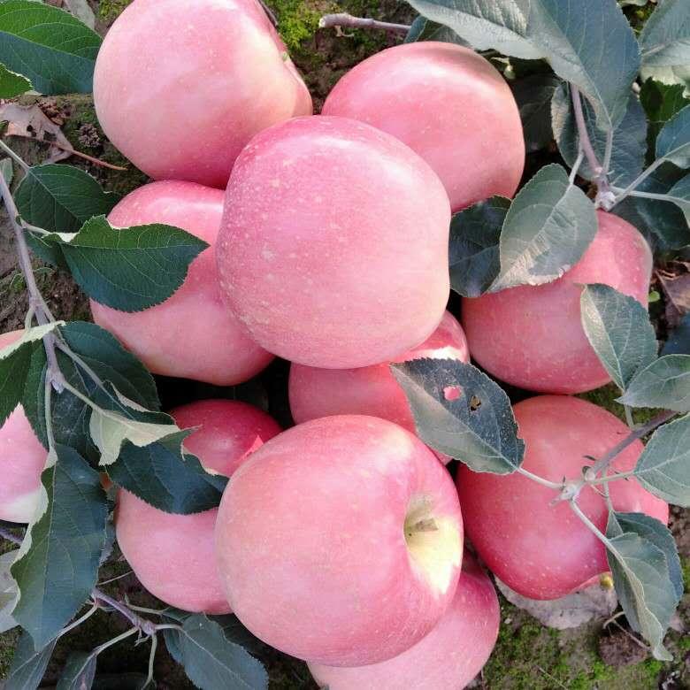 红富士苹果  木兰牌富士多年出口孟加拉国!产品火热招商中......