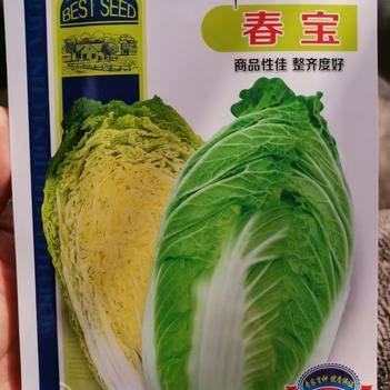 黄心白菜种子  春宝早春白菜种子 抗根肿病能力强 春秋均可播种