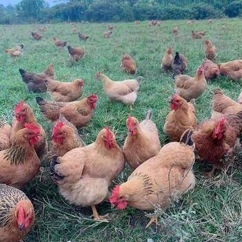 农家鸡,土鸡,