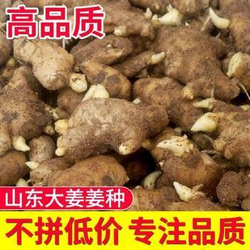 姜种山东生姜高品质大黄姜姜种生茬地无病无菌
