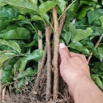 新品种黑黄皮果苗广西浦北产地优质苗,包技术一条龙到位