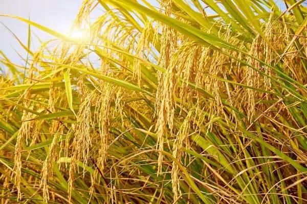 2020年农村种植什么有补贴?申报补贴条件有哪些?