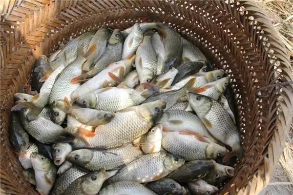禾花鱼价格多少钱一斤?禾花鱼的养殖前景好吗?(附养殖方法)