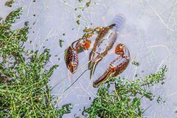 今日全国小龙虾价格多少钱一斤?2020年小龙虾市场怎样?