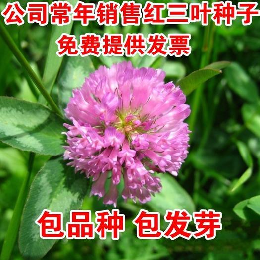 宿迁沭阳县红三叶