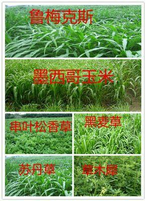 宿迁沭阳县苜蓿草种子