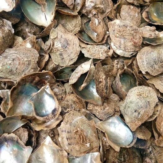 湛江雷州市解氏珍珠貝 人工養殖