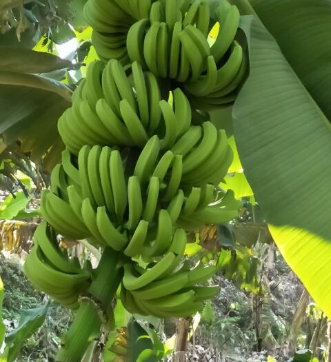 红河屏边苗族自治县河口香蕉 七成熟 70斤以上