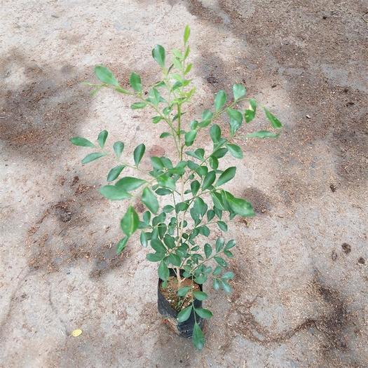廣州荔灣區千里香 綠色植物九里香袋苗