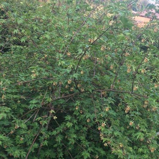 台州黄岩区覆盆子种苗