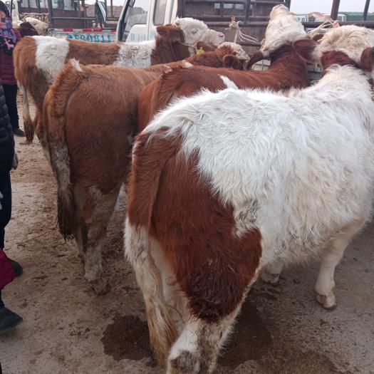 萊州市 山東省萊州市肉牛交易市場