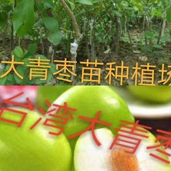 枣树苗,种植当年结果,基地直发货,一手货源