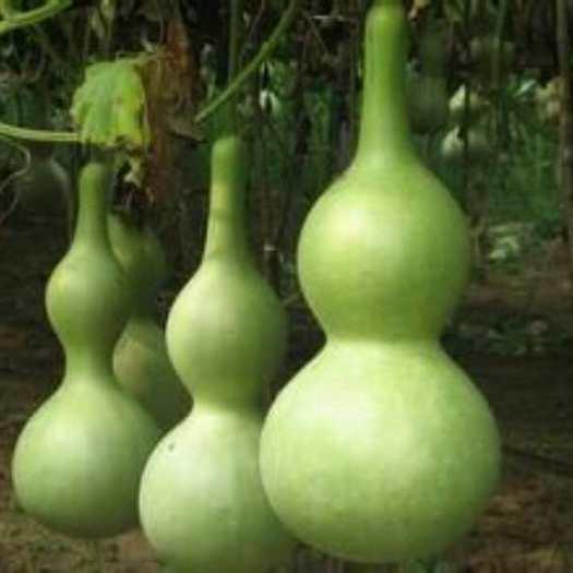 济南亚腰葫芦种子