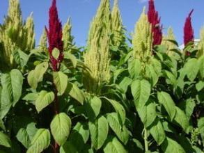 济南美国籽粒苋牧草种子