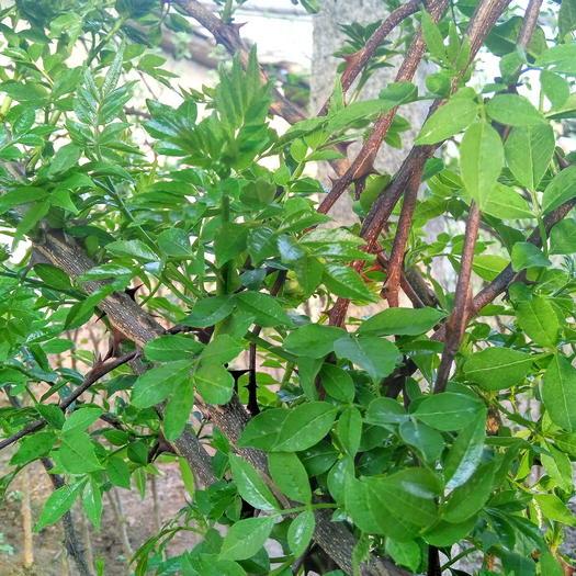 山东省泰安市新泰市花椒芽菜 散装 温室
