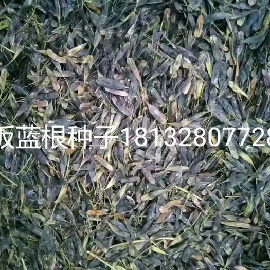 亳州谯城区板兰根种子