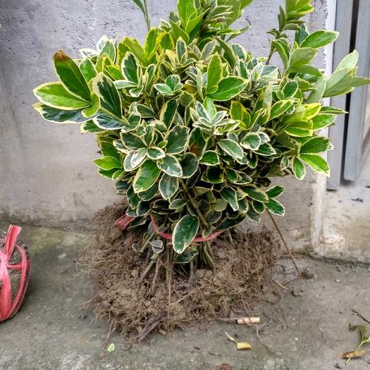 咸寧咸安區 金邊黃楊綠化彩色樹苗  苗一年四季可栽