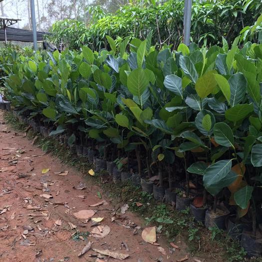 钦州灵山县马来西亚一号菠萝蜜苗 嫁接苗,带土球发货