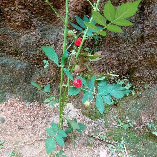 钦州灵山县覆盆子种苗