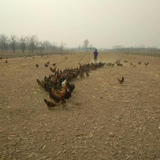 泊頭市 林間散養土雞