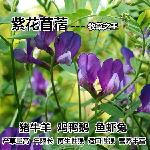 徐州新沂市苜蓿草种子 紫花苜蓿种子多年生四季常青牧草鸡鸭鹅牛羊鱼草籽