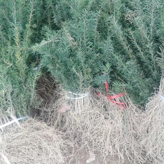 成都郫都区 曼地亚红豆杉药用价值高不怕冷