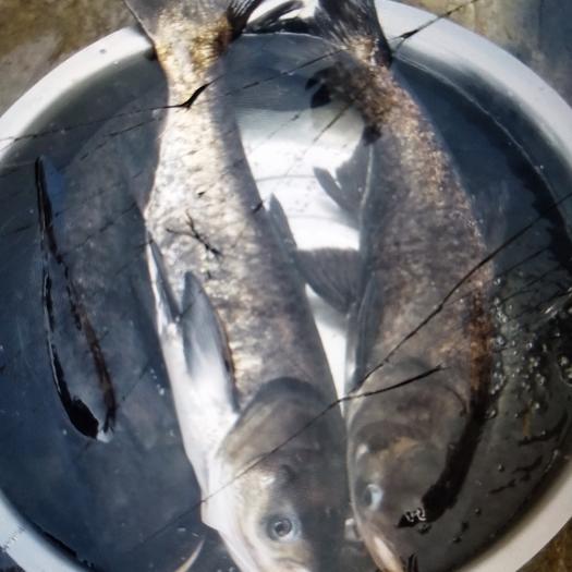 河池天峨县雄鱼 1.5-2.5公斤