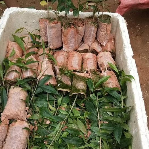 欽州靈山縣白木香 帶杯帶葉發貨包技術
