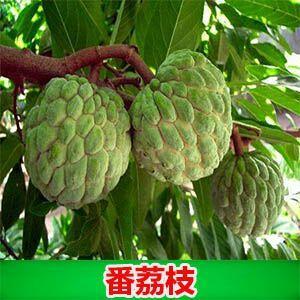 钦州灵山县刺果番荔枝苗