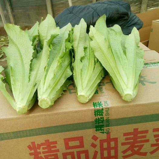 邯郸永年区 河北邯郸蔬菜产地常年大量供应油麦菜