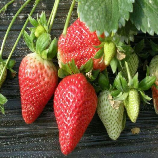 泰安章姬草莓苗 保证成*率95%以上