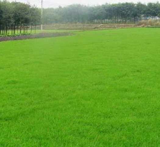菏泽郓城县护坡草种子