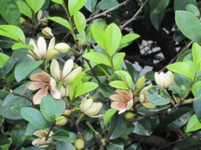 沭阳县含笑花种子