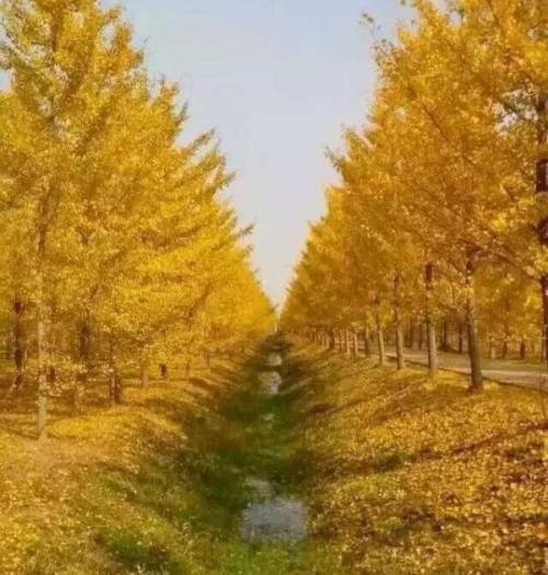 臨沂平邑縣銀杏實生樹