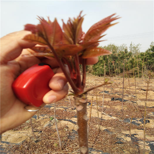 泰安岱岳区红油香椿苗 价格以咨询为准 死苗补发保证成活率95%以上