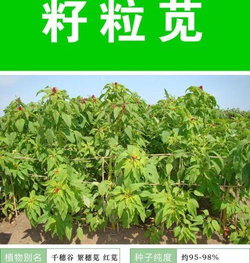 沭阳县籽粒苋种子