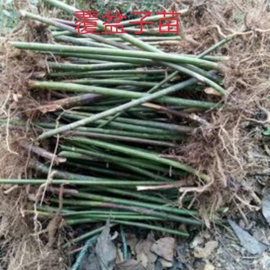 亳州谯城区覆盆子种苗