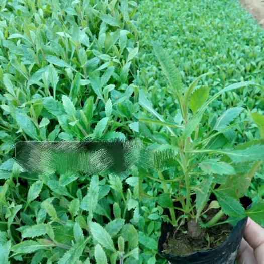 潍坊青州市马鞭草种子 花海专用,马鞭草