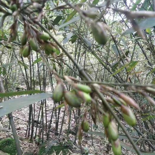 乐山马边彝族自治县竹荪菌种