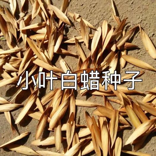 库尔勒市白蜡种子