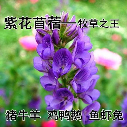 宿迁沭阳县紫花苜蓿
