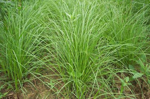 宿迁沭阳县百喜草种子 宽叶雀稗又叫百喜草可以做牧草,可以做绿化草护坡防止水土流失