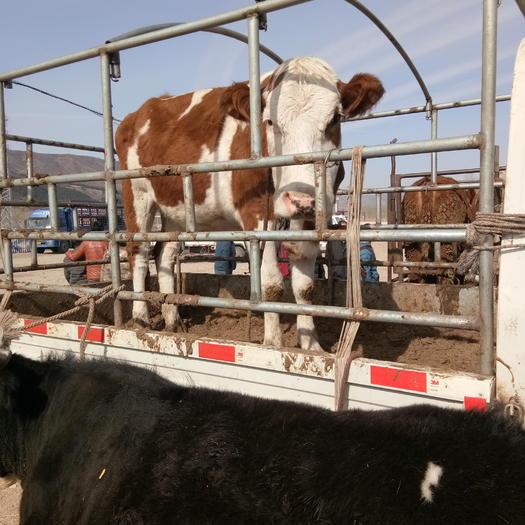 承德围场满族蒙古族自治县西门塔尔牛 货真价实,欢迎实地考察